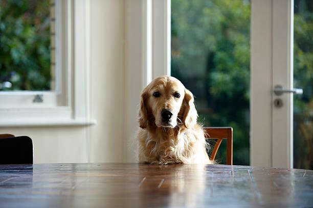 Golden retriever dog sitting at dinning table, looking away:スマホ壁紙(壁紙.com)