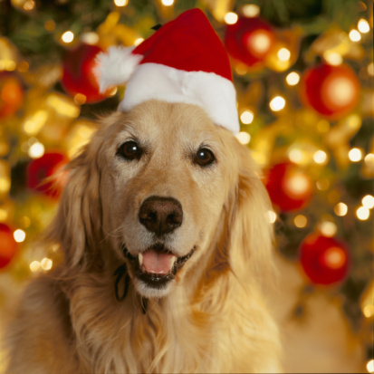 Santa Hat「Golden Retriever wearing Christmas Hat 」:スマホ壁紙(7)