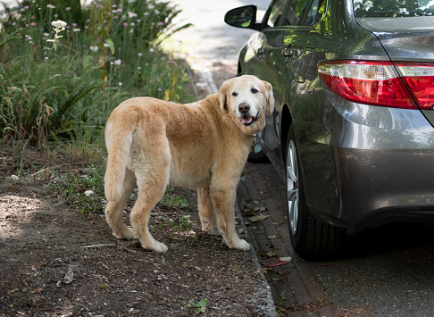 犬「Golden Retriever Dog Standing Next to Car」:スマホ壁紙(4)
