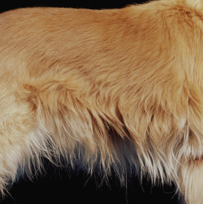 Animal Hair「Golden retriever, mid section, side view, close-up」:スマホ壁紙(3)