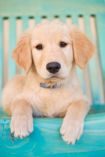 Animal「Golden Retriever puppy on blue chair」:スマホ壁紙(7)