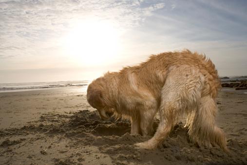 掘る「Golden retriever digging hole in sand on beach at sunset, side view」:スマホ壁紙(13)