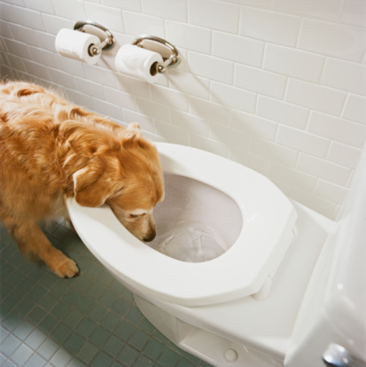 Toilet Roll Holder「Golden retriever drinking water from toilet bowl, high angle view」:スマホ壁紙(19)