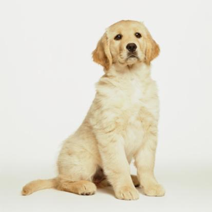 Baby animal「Golden Retriever Puppy Sitting on White」:スマホ壁紙(1)