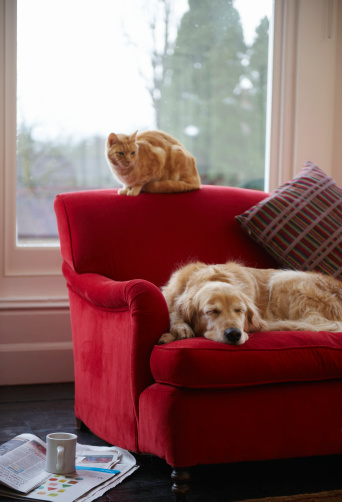 Cat「Golden retriever dog with ginger tabby cat resting on sofa」:スマホ壁紙(19)