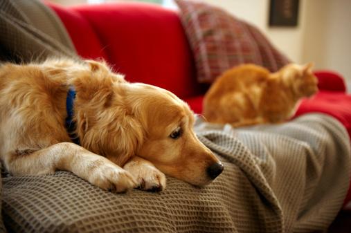 Three Quarter Length「Golden retriever dog with ginger tabby cat resting on sofa (focus on foreground)」:スマホ壁紙(3)