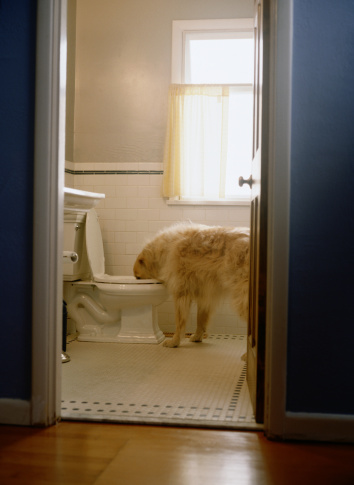 Drinking「Golden Retriever Drinking from Toilet」:スマホ壁紙(7)