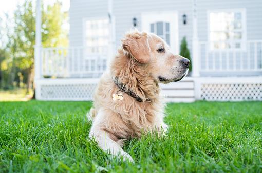 Guarding「Golden retriever on front yard」:スマホ壁紙(9)