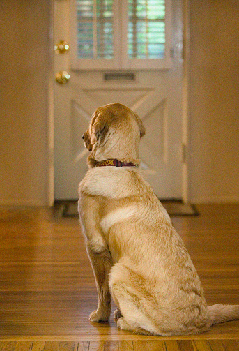 Waiting「Golden Retriever Waiting near Door」:スマホ壁紙(9)