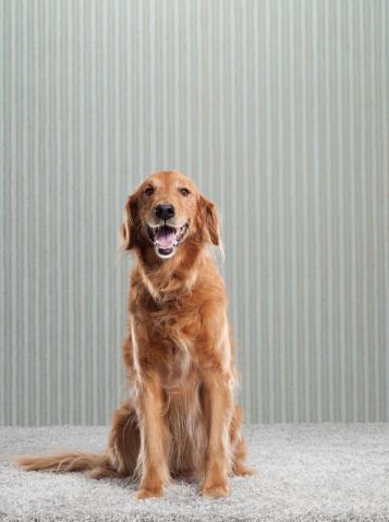 Sitting「Golden Retriever on Carpet and Wallpaper」:スマホ壁紙(2)