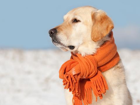 Animal Themes「Golden Retriever with scarf」:スマホ壁紙(15)