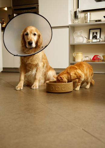 Hungry「Golden retriever dog with medical collar sitting next to ginger tabby cat eating out of dog's food bowl」:スマホ壁紙(18)