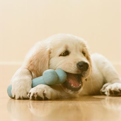 Baby animal「Golden Retriever Puppy chewing bone, close-up」:スマホ壁紙(5)