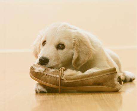 Mischief「Golden Retriever Puppy chewing slipper on floor, close-up」:スマホ壁紙(18)