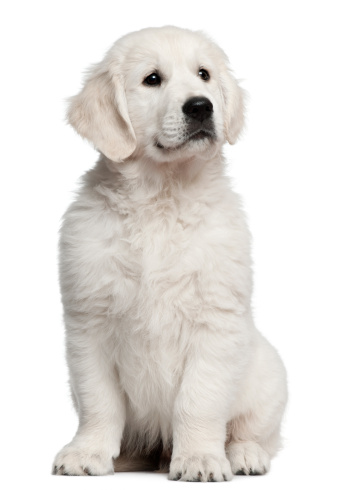 Part of a Series「Golden Retriever puppy (10 weeks old)」:スマホ壁紙(12)
