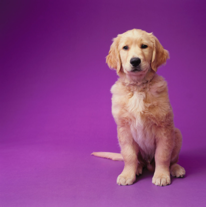 Baby animal「Golden Retriever Puppy」:スマホ壁紙(19)