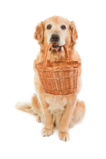 Carrying「Golden Retriever, which holds wicker pannier」:スマホ壁紙(5)