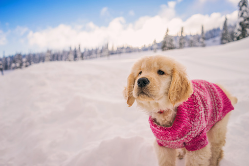 Sweater「Golden retriever puppy wearing pink sweater playing in the fresh snow」:スマホ壁紙(10)