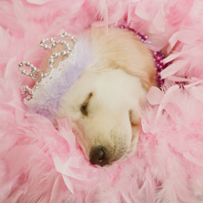 Crown - Headwear「Golden Retriever Puppy wearing crown asleep in bed of pink feathers」:スマホ壁紙(6)