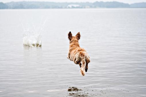 Carefree「Golden retriever dog jumping into lake」:スマホ壁紙(19)