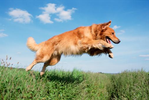 Pets「Golden Retriever jumping」:スマホ壁紙(0)