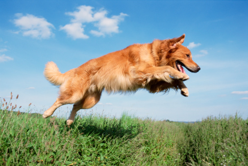 Pets「Golden Retriever jumping」:スマホ壁紙(4)