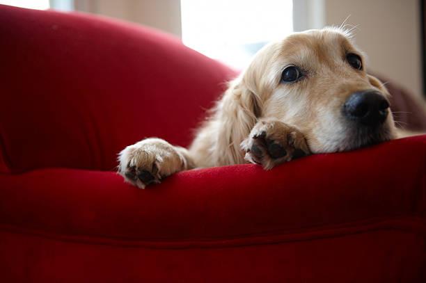 Golden retriever dog lying on sofa, close-up:スマホ壁紙(壁紙.com)