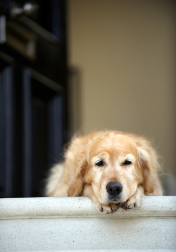 Part of a Series「Golden retriever dog lying in front door of house, looking away (focus on foreground)」:スマホ壁紙(1)