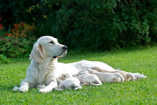Female Animal「Golden Retriever dog nursing her puppies」:スマホ壁紙(19)