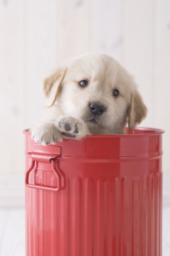 かわいい「Golden retriever in a bucket」:スマホ壁紙(17)