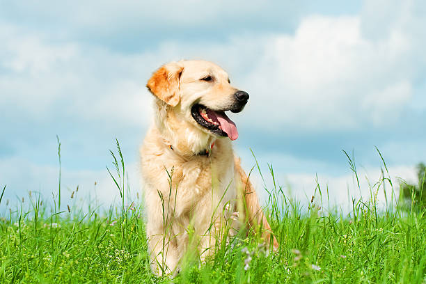 Golden Retriever on a meadow:スマホ壁紙(壁紙.com)