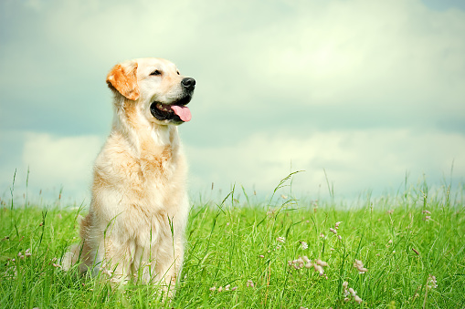幸福「ゴールドレトリバーの草地」:スマホ壁紙(13)