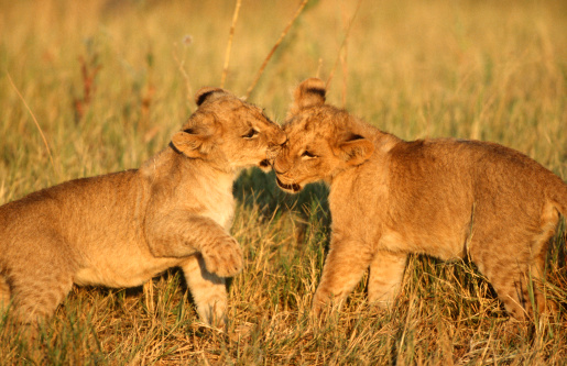 動物の赤ちゃん「Lion Cubs (Panthera leo) Playing in the Bushveld」:スマホ壁紙(2)