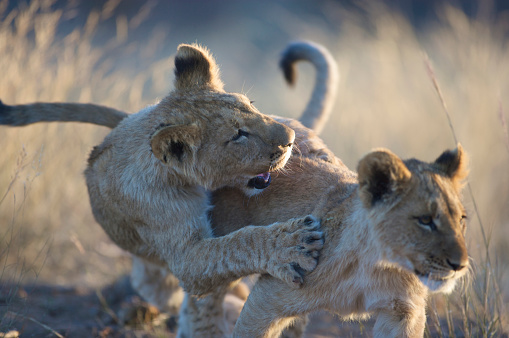 動物の赤ちゃん「Lion Cubs (Panthera Leo) playing, Namibia」:スマホ壁紙(0)