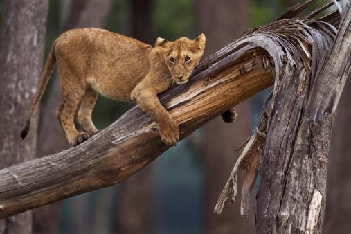 Fallen Tree「Lion cubs playing on a fallen tree」:スマホ壁紙(11)