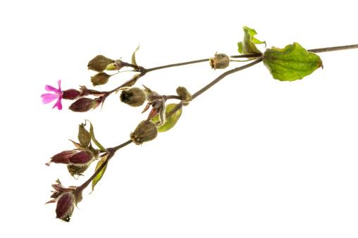 Wildflower「Red Campion Seed Pods」:スマホ壁紙(7)