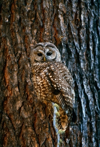 Animals Hunting「Mexican spotted owl camouflaged against tree bark」:スマホ壁紙(6)