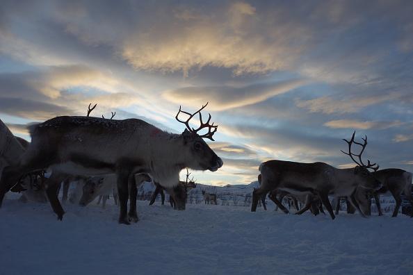 Animal Body Part「Sami Reindeer Herding」:写真・画像(5)[壁紙.com]