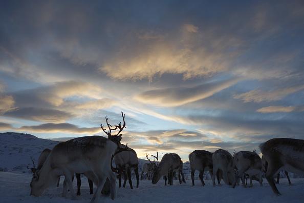 Norway「Sami Reindeer Herding」:写真・画像(6)[壁紙.com]