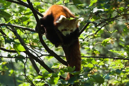 パンダ「Red panda (Ailurus fulgens) in a tree, Assam」:スマホ壁紙(7)
