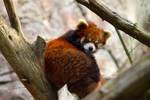 パンダ「Red Panda in Tree」:スマホ壁紙(3)