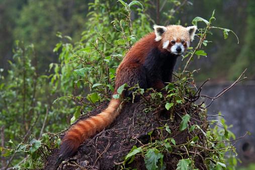 パンダ「Red Panda in Sikkim」:スマホ壁紙(9)