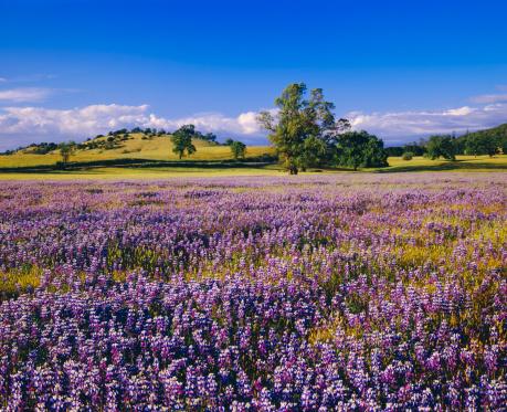 花畑「春、カリフォルニア州」:スマホ壁紙(6)