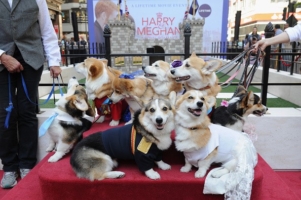 "Celebration「Lifetime's ""Corgi Court"" In Celebration Of ""Harry & Meghan: A Royal Romance"" Premiering On May 13」:写真・画像(17)[壁紙.com]"