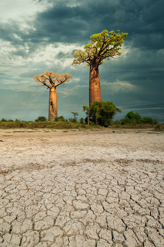 Ecosystem「Climate change - Baobab trees in the dry soil of Madagascar」:スマホ壁紙(14)