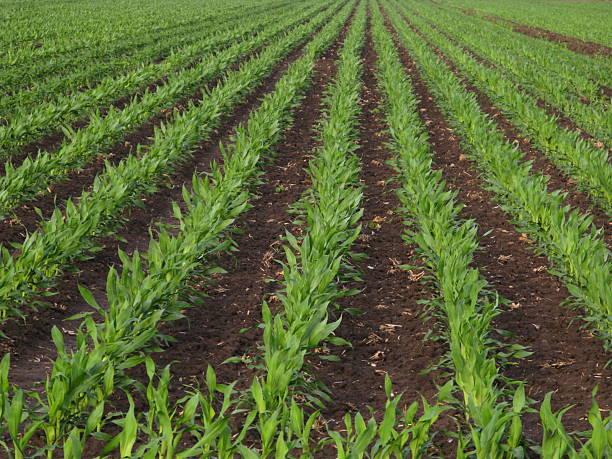 Corn Rows Spring Agriculture:スマホ壁紙(壁紙.com)