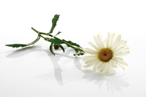 Marguerite - Daisy「Marguerite (Leucanthemum maximum)」:スマホ壁紙(18)