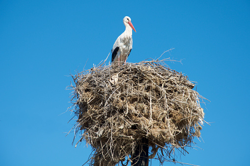 Animal Wing「Stork atop nest on telegraph pole.」:スマホ壁紙(10)