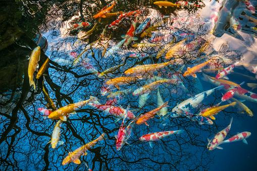 Carp「Koi Carps in a pond in Tokyo」:スマホ壁紙(13)