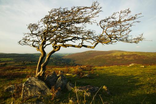 Hawthorn「A gnarled hawthorn tree at Combestone Tor, nr Hexworthy, Dartmoor National Park, Devon, Great Britain.」:スマホ壁紙(12)